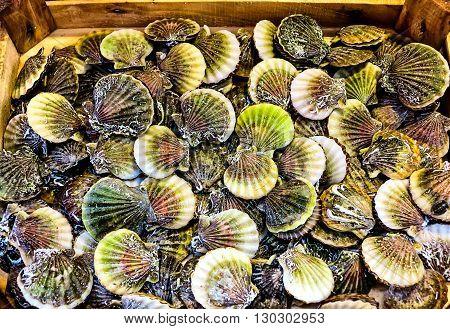 Colorful fresh scallop (Pecten maximus) at a Mediterranean fish market