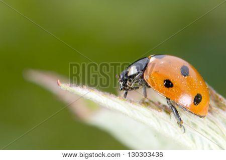 Red ladybug macro on green background close up