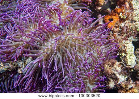 Violet Anemone Tentacles Detail