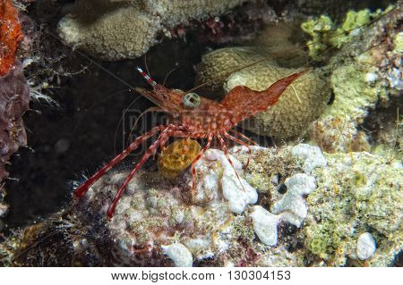Shrimp On Soft Coral