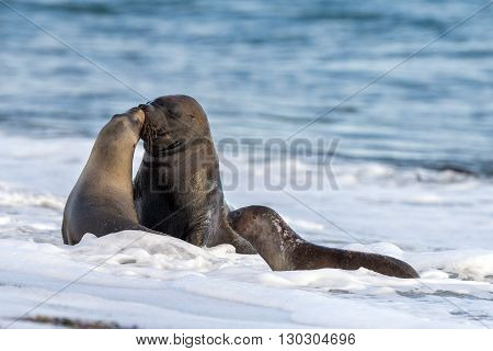 Sea Lion Kiss On The Beach In Patagonia