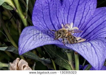 Bee Flying To You From Flower