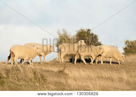 Sheep Flock On Patagonia Grass Background