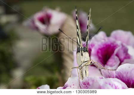 Macaon Butterfly