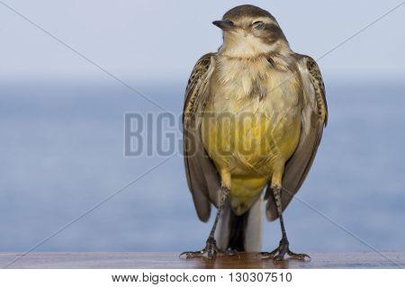 Isolated Yellow Tilt Sparrow