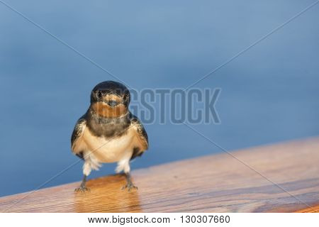 A Swift Swallow Bird From Africa Portrait In The Blue Sea Background
