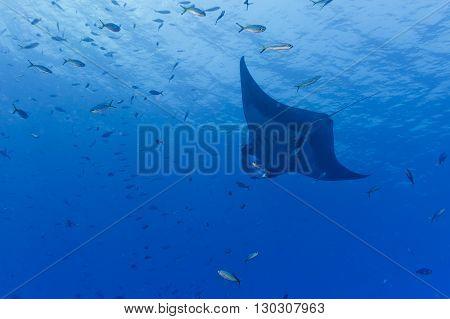 A Manta In The Deep Blue Ocean