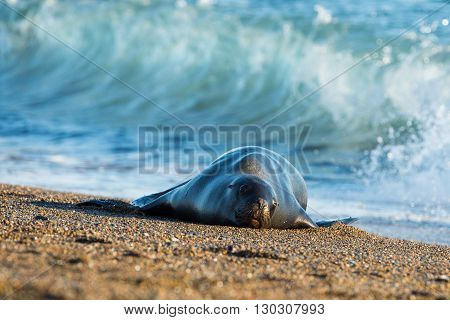 Female Sea Lion Seal On The Beach In Patagonia