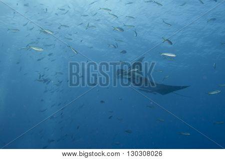 Manta In The Deep Blue Sea