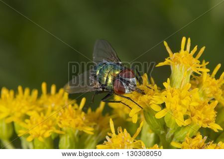 Green Fly While Sucking Pollen