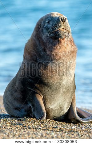 Male Sea Lion Seal Portrait On The Beach