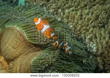 Clown Fish While Looking At You From Anemone