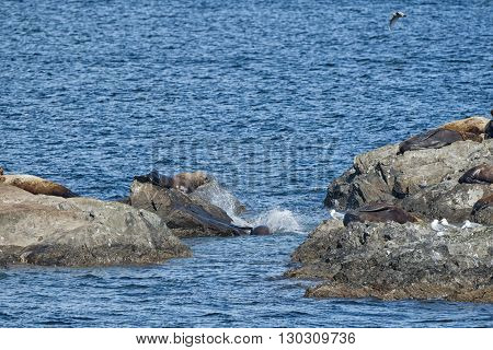 Sea Lions Seal On The Rocks