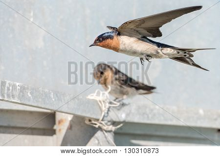 Swallow Swift On The Deep White Background