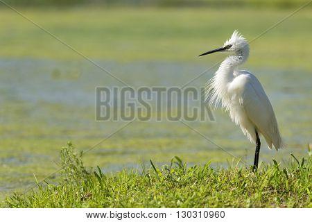 White Egret Heron Portrait