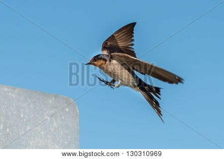 Swallow Swift On The Deep Blue Cloudy Sky