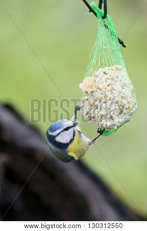 A Blue Tilt Bird While Eating