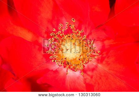 Red Flower Pistil Macro Detail
