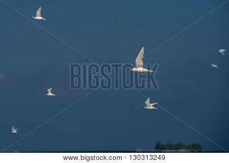 Tern While Flying On Blue Sky Background