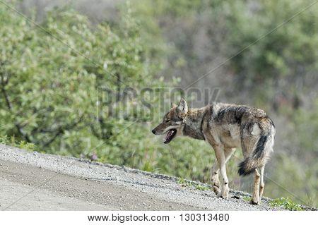 Denali Grey Wolf