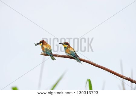 Bee eater on the white background eating insect