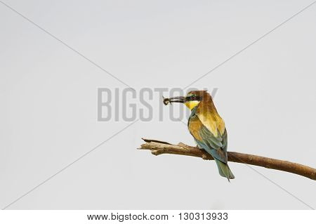Bee eater on the white background while eating a insect