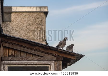 Two grey feral pigeons standing on rooftop of suburban house