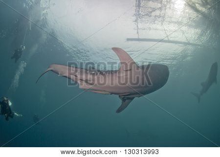 Whale Shark Close Up Underwater Portrait Approaching Scuba Divers
