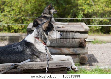Sled Dog While Resting