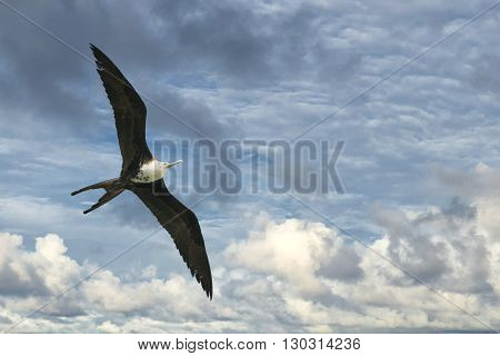 Frigate Bird While Flying In The Sky Background