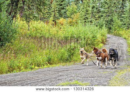 Alaskan Sled dog while riding training ride