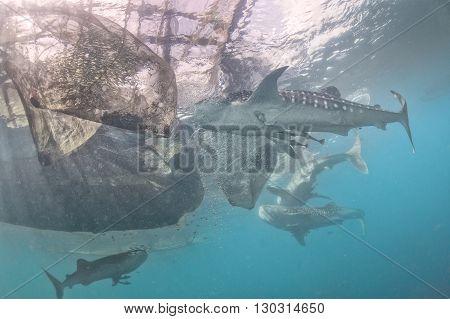 Whale Shark Under Fishermen Platform In Papua Indonesia
