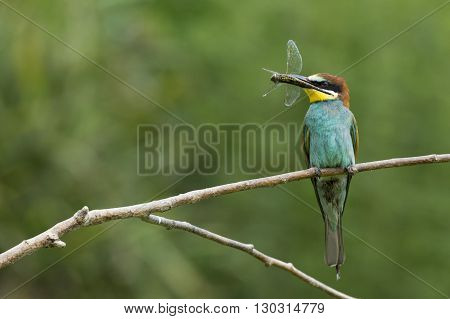 Bee Eater On The Tree Isolated On Green