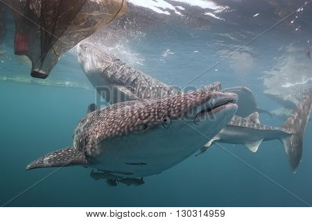 Whale Shark Close Up Underwater Portrait
