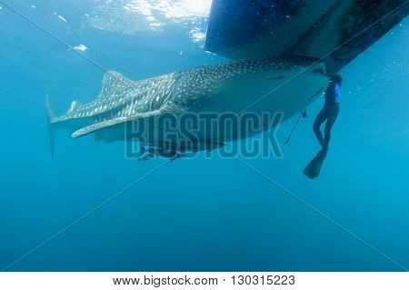 Whale Shark Approaching A Diver Underwater In Papua