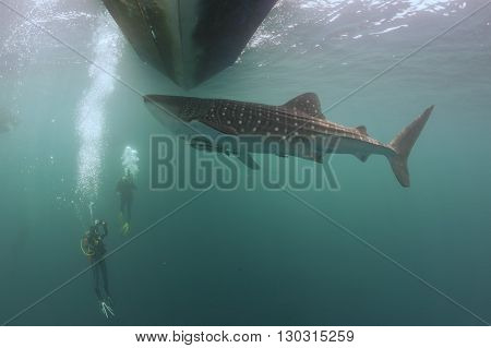 Whale Shark Underwater Approaching A Scuba Diver Under A Boat  In The Deep Blue Sea