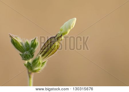 White Unopened Flower On Brown Background