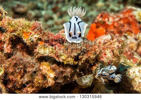 Chromodoris Wilani Nudibranch While Diving Indonesia