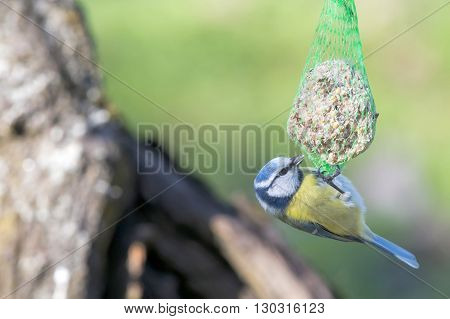 A Blue Tit While Eating On The Green Background