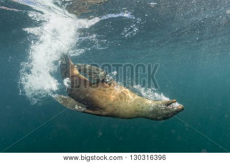 sea lion sea lion playing underwater close up