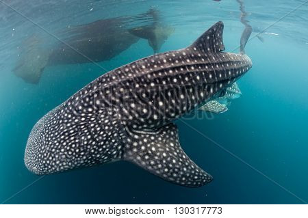 Whale Shark Coming To You Underwater