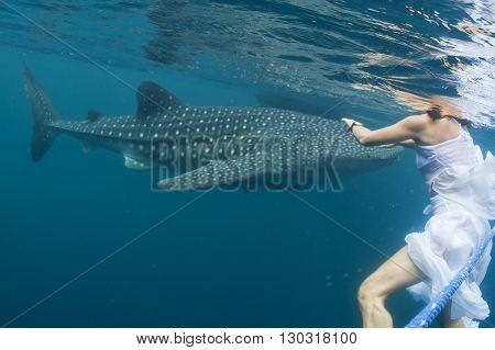 Whale Shark Very Near A Snorkelist