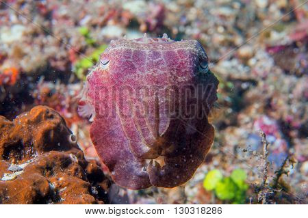 Squid Cuttlefish Underwater On Black Lava Sand Much Dive