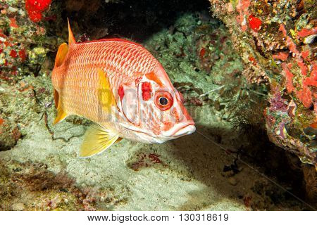 Red Snappers Fish Underwater Portrait