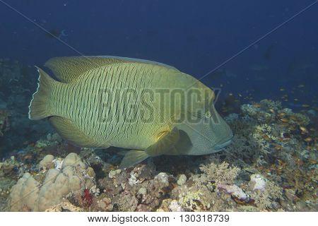Napoleon Fish Underwater