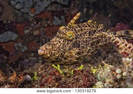 Triggerfish Underwater