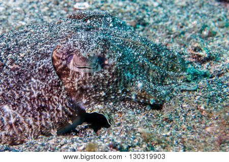 Squid Cuttlefish Underwater On Black Lava Sand