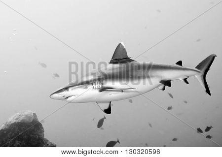 Grey Shark Jaws Ready To Attack
