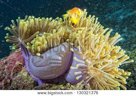 Clown Fish Inside Pink Purple Anemone