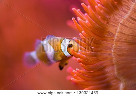 Clown Fish Inside Red Anemone